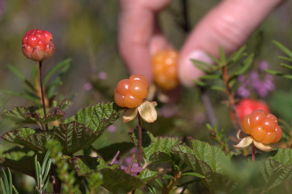 Het plukken van cloudberries in Noorwegen