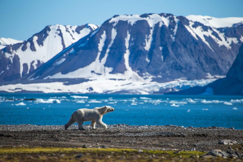 IJsbeer in Spitsbergen op groepsreis in Noorwegen